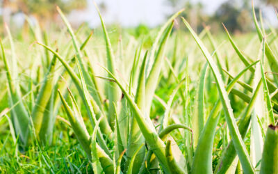 History of Aloe Vera and its Medicinal Use