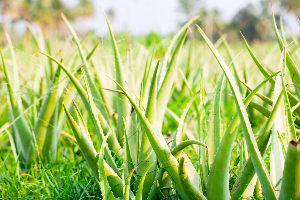 History of Aloe Vera and its Medicinal Use
