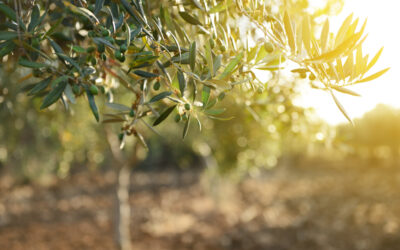 The History of Olive Leaf Extract